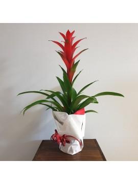 Pianta fiorita: Bromelia Guzmania