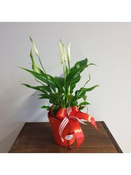 Pianta fiorita: Spatafillo
