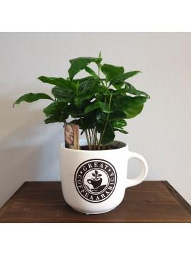 Pianta da interno: Coffea arabica