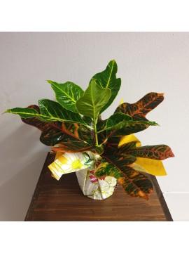 Pianta da interno: Croton