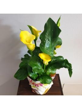 Pianta fiorita: Calla, Zantedeschia